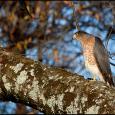 Peregrine-Falcon-Maple-Tree-#20