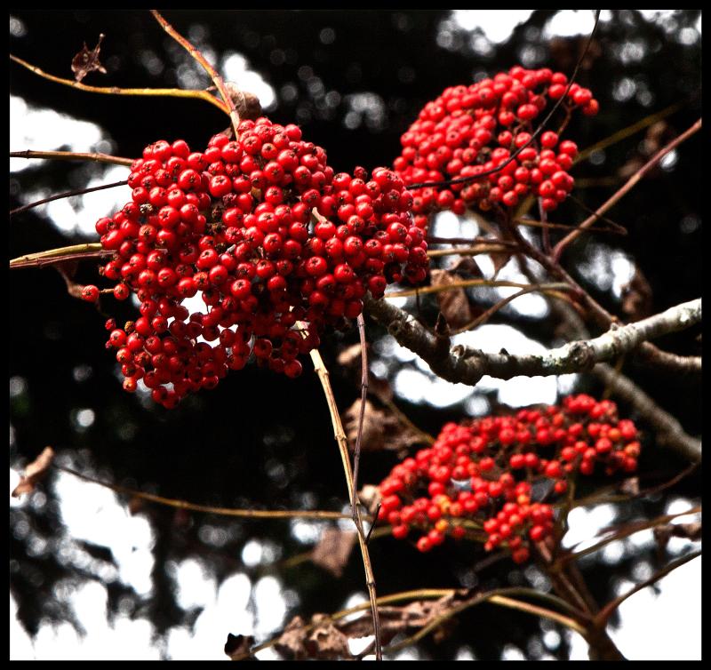 Great-Smokies-Rowan-Berries-#21