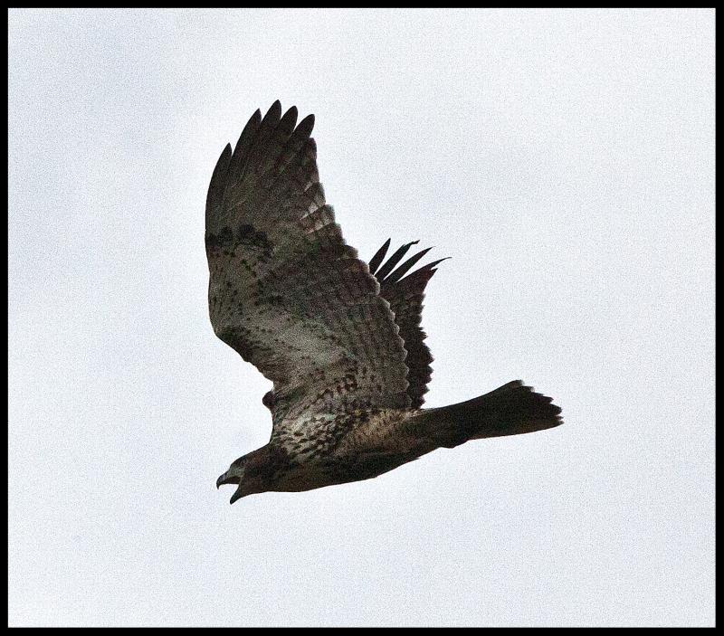 Ararat-River-Hawk-#21