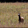 Elk-Two-Wait-For-Me-#21