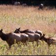 Elk-One-#21