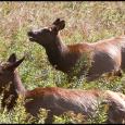 Elk-Three-#21