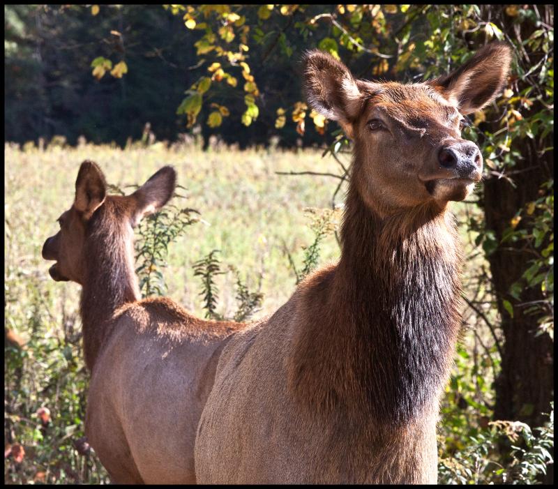 Elk-Four-#21